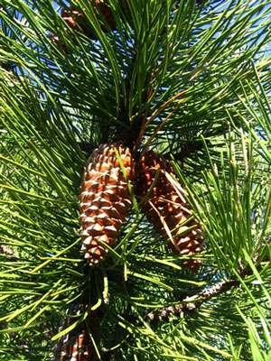 Pinus pinaster pin maritime © Académie de Lyon
