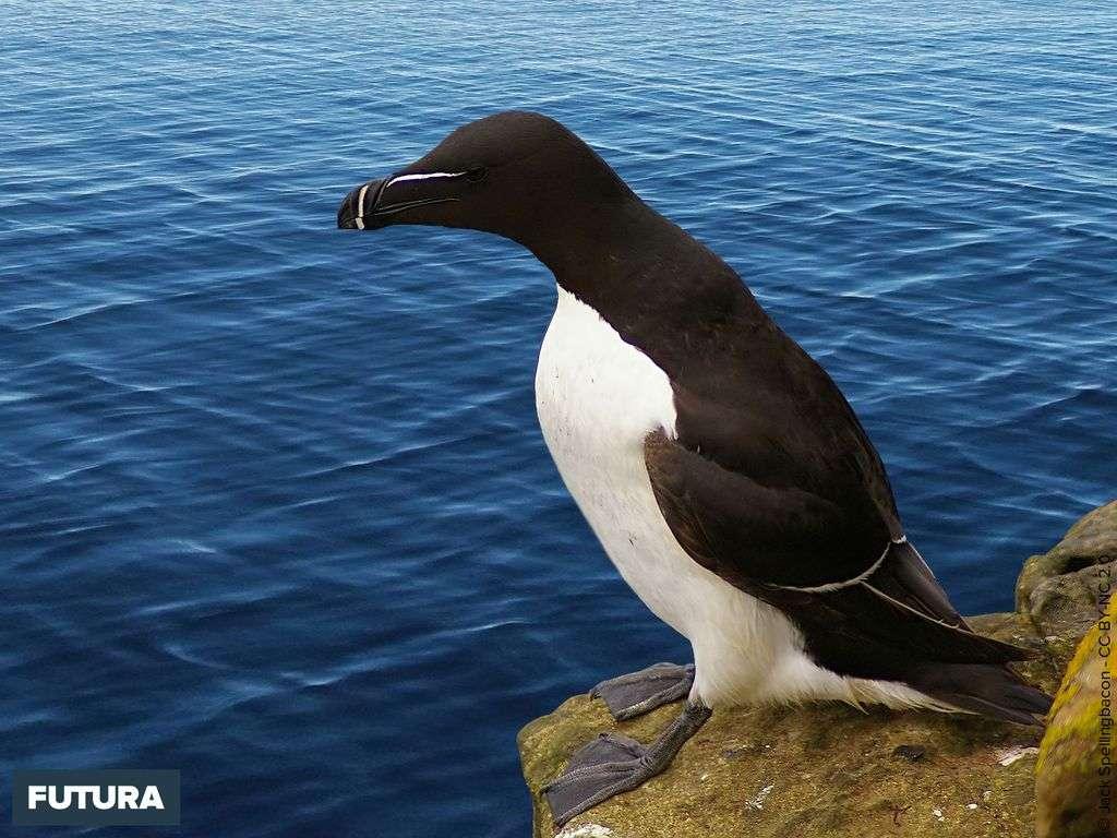Petit Pingouin - Alca torda