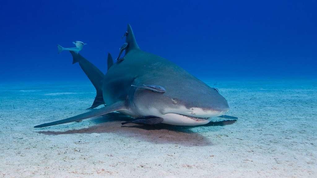 Le rémora, suceur de requin