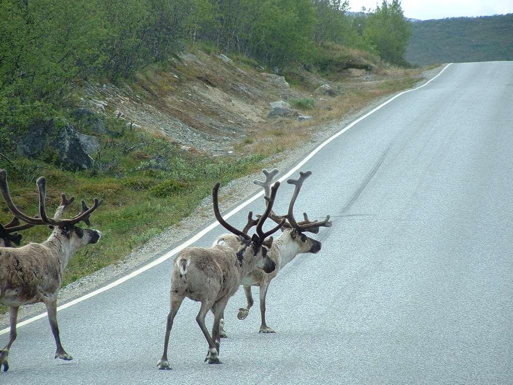 Pour se protéger de la chaleur, les rennes se mettent à l'ombre dans les tunnels. © Jon, Flickr CC BY 2.0