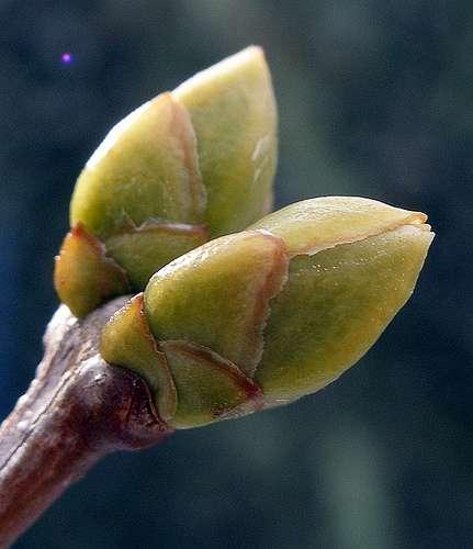 Le lilas appartient à la famille des oléacées. © Er.We, Flickr CC by nc nd 2.0