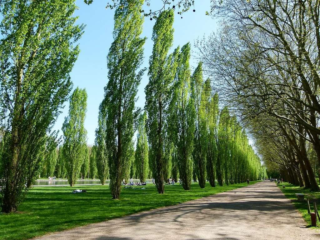 Allée de peupliers au parc de Sceaux. © Dinkum, wikimedia commons, CC 0.1