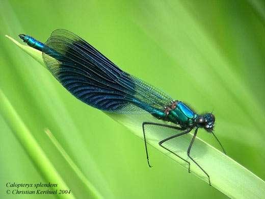 Caloptéryx éclatant Calopteryx splendens - Tous droits réservés