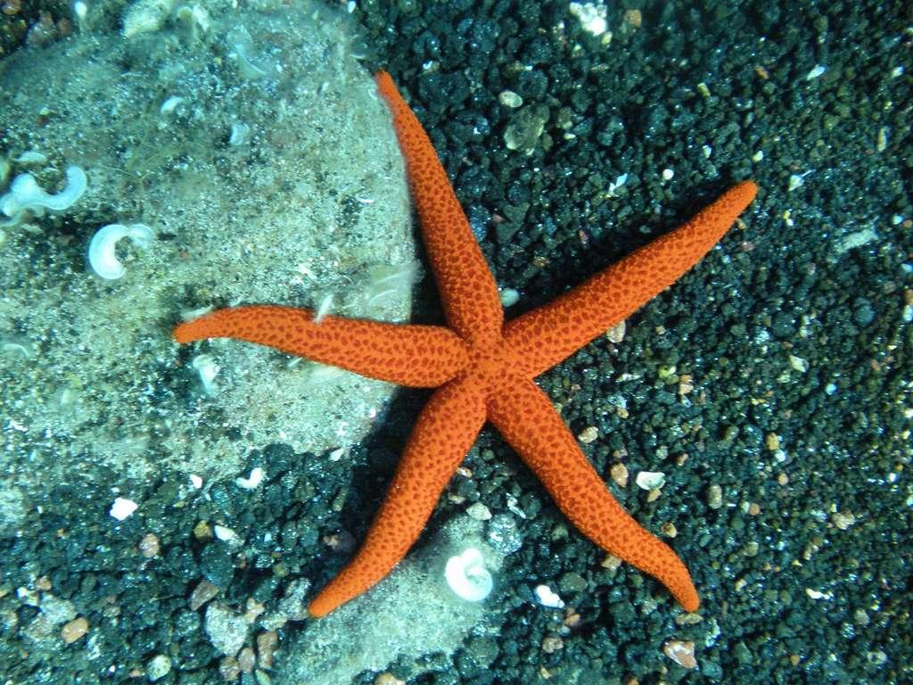 L'étoile de mer rouge