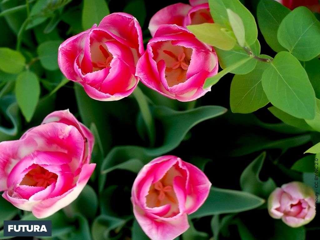 Printemps : les premières tulipes