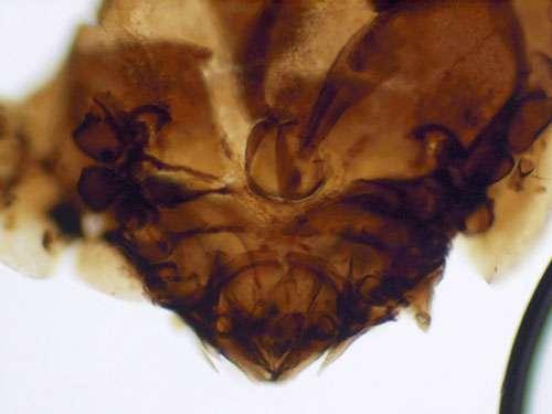 Vue macroscopique d'un acarien.oribate piégé il y a plusieurs siècles par la boue du lac de Marcacocha. © Nick Rowe, CIRAD, Montpellier Tous droits réservés