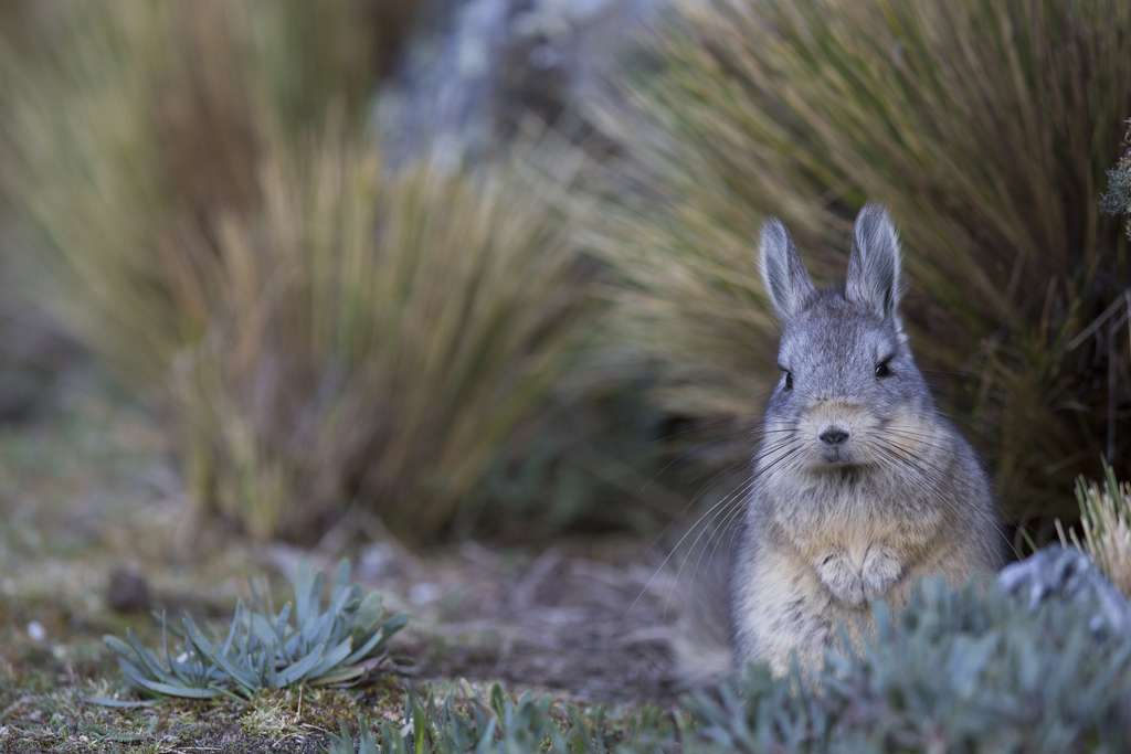 La viscache, un rongeur proche du chinchilla