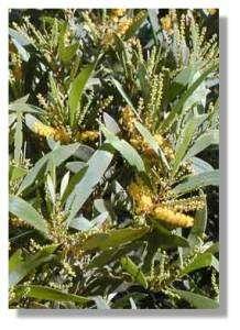 Fleurs de gaiac (Acacia spirorbis)© J.J. Espirat