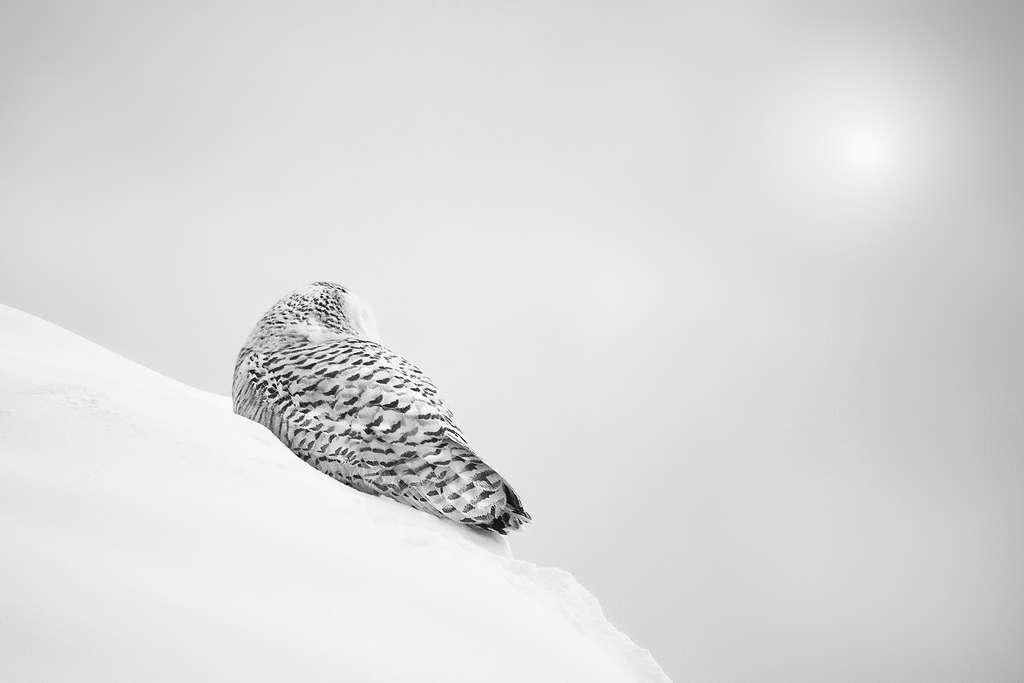 Un harfang des neiges en plein blizzard