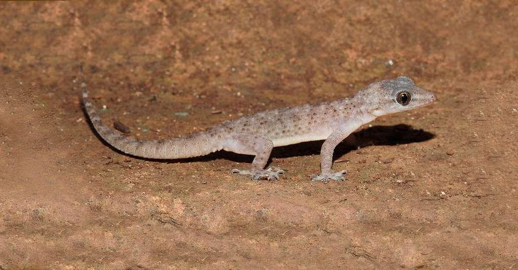Le gecko. © Dr. Raju Kasambe, CC by-sa 4.0