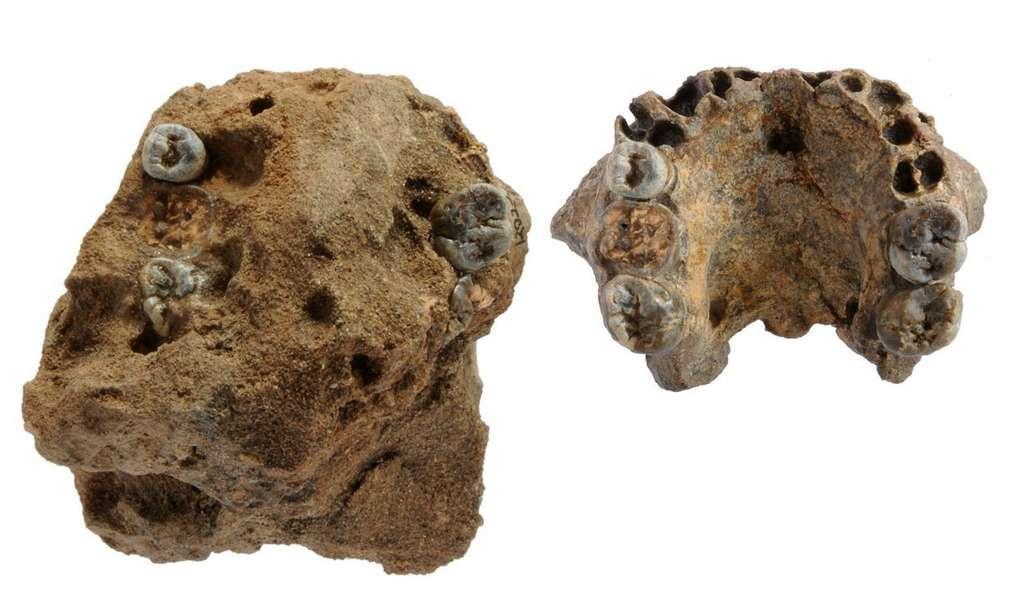 Le fossile de gauche a été trouvé en l'état lors des fouilles à l'est du lac Turkana. Il s'agit de l'échantillon KNM-ER 62.000 qui correspond à des os de la face d'une nouvelle espèce appartenant au genre Homo. L'image de droite présente le même fossile, débarrassé de sa gangue de sédiments. © Freed Spoor, NMK