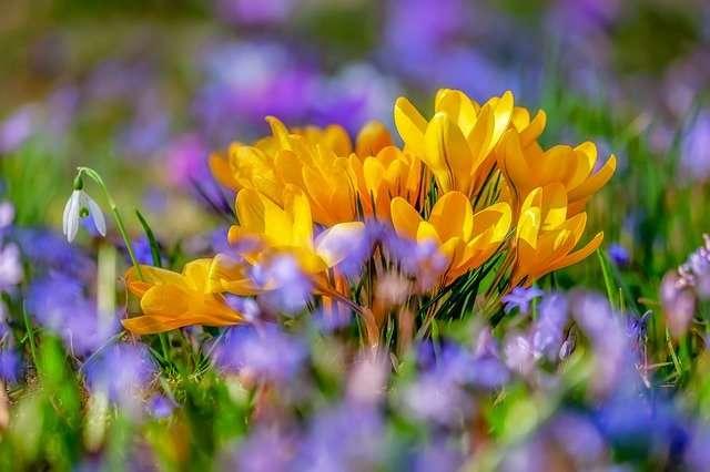 Bouquet de crocus dorés en pleine terre. © Couleur, Pixabay, DP