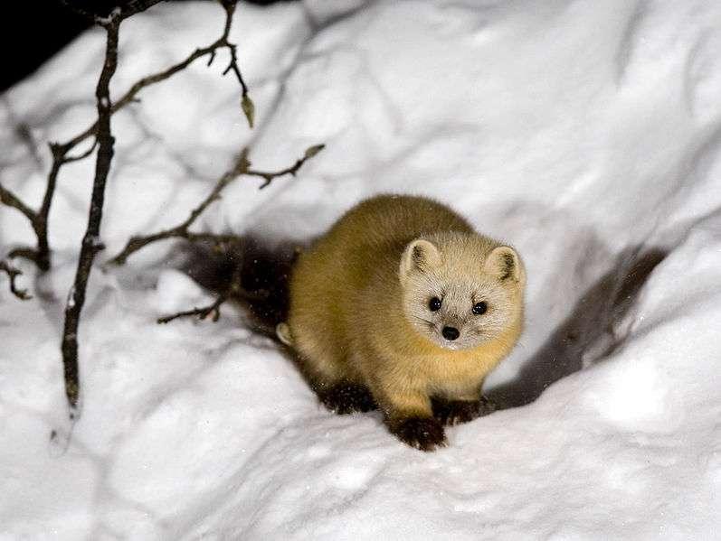 Zibeline en pelage d'hiver. © Tokumi, CCA-SA License