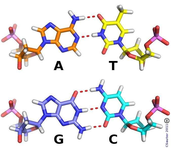 L'ADN est composé de quatre types de nucléotides composés chacun d'un groupement phosphate (en rose et rouge), un sucre cyclique (le désoxyribose) et d'une base qui est soit l'adénine (A), la cytidine (C), la guanine (G) ou la thymine (T). Les nucléotides peuvent s'accrocher deux à deux, A avec T et C avec G, pour former les « barreaux » de l'échelle d'ADN. © Claude Sauter, CC