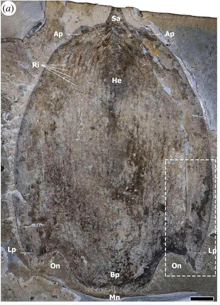 Élément massif recouvrant la tête de Titanokorys gainesi. Échelle : 2 cm. © Caron and Moysiuk, 2021