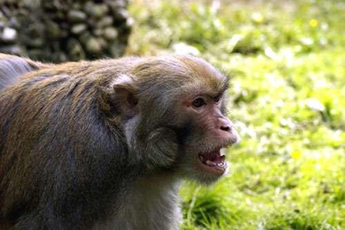 Menace d'un mâle macaque rhésus (Macaca mulatta). © Arianna De Marco - Reproduction et utilisation interdites