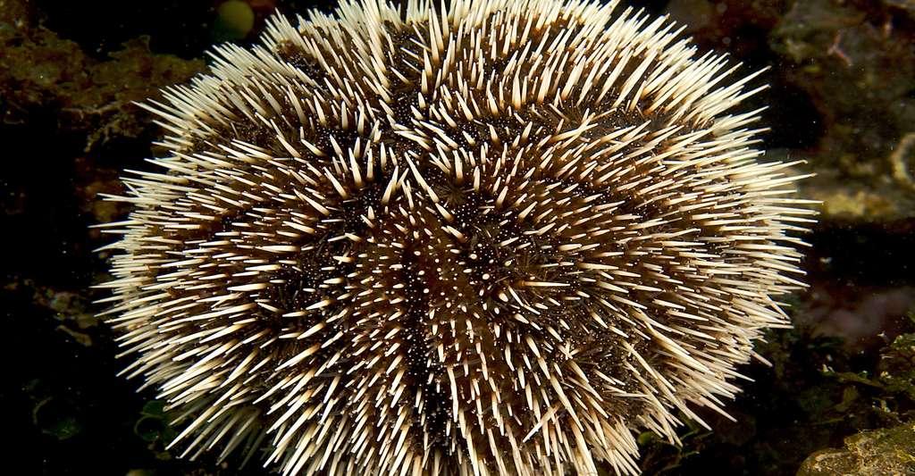 Les oursins présents sur nos côtes ne sont pas dangereux. En revanche, il n'est pas facile d'enlever leurs épines. Ici, Tripneustes ventricosus. © Nick Hobgood, Wikimedia Commons, CC by-sa 3.0