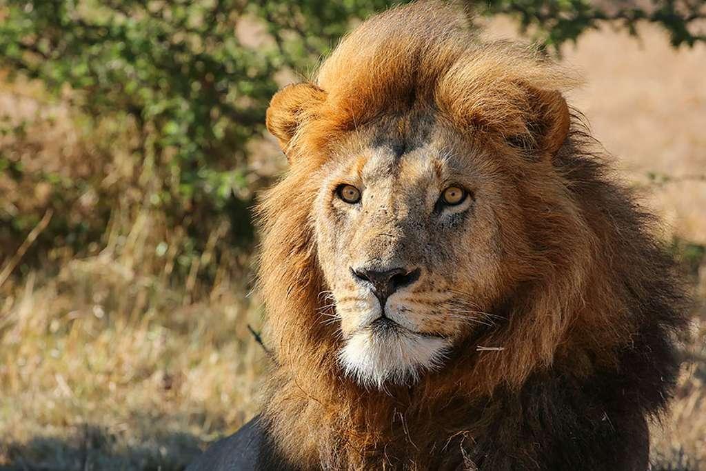 Lion, le roi de la savane (Kenya). © Graeme Green, tous droits réservés, reproduction interdite