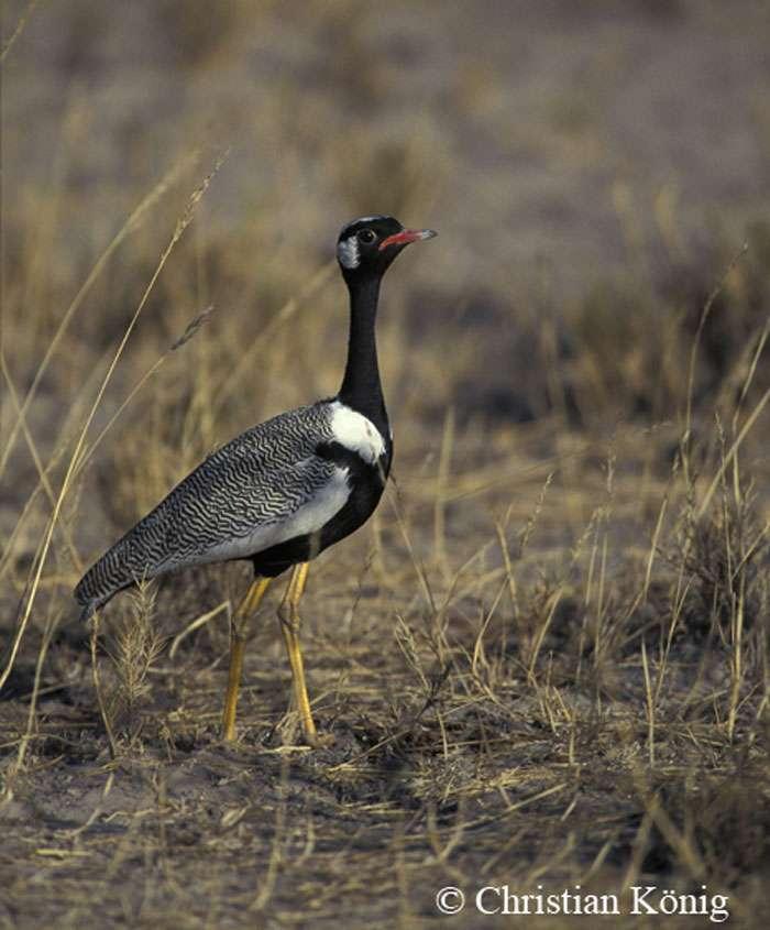 On ne trouve l'outarde korhaan que dans la province du Cap, en Afrique du Sud, et dans le parc d'Etosha, en Namibie. © Christian König, DR