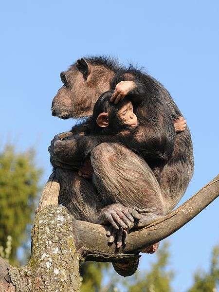 Femelle chimpanzé et son petit. © Böhringer Friedrich, CC by SA 2.5