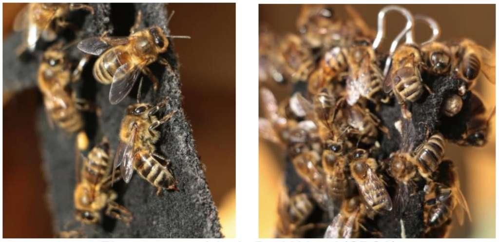 Les abeilles françaises et australiennes ont réagi de la même façon aux odeurs calmantes malgré leurs environnements très différents. © courtoisie de David Vogel (CRCA)