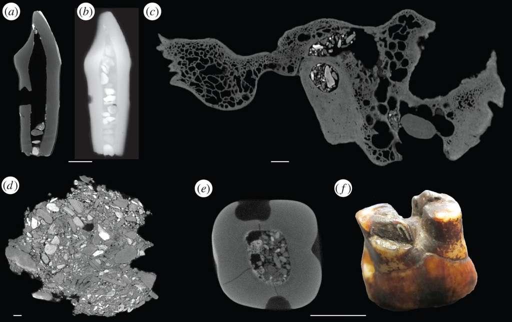 Quelques restes fossilisés issus des fouilles de Piltdown observés au scanner (sauf f). Les inclusions blanches sont des petits cailloux, fixés par du mastic et ajoutés pour, littéralement, donner plus de poids à la découverte. © Isabelle De Groote et al., Royal Society