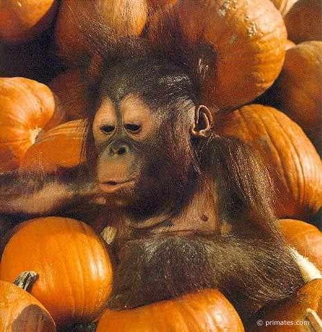 Bébé orang outang