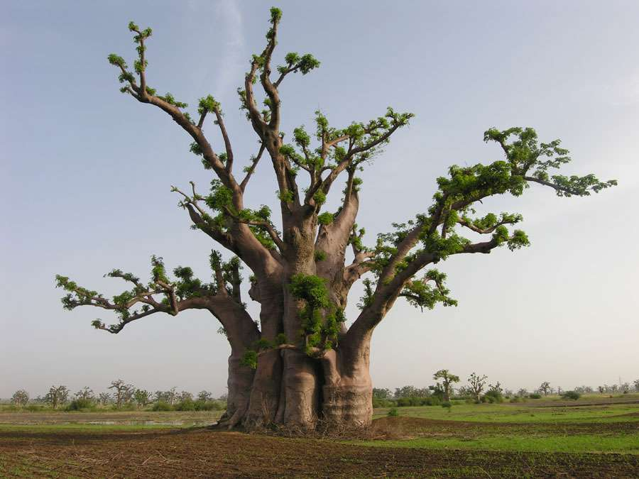 Le baobab africain, Adansonia digitata