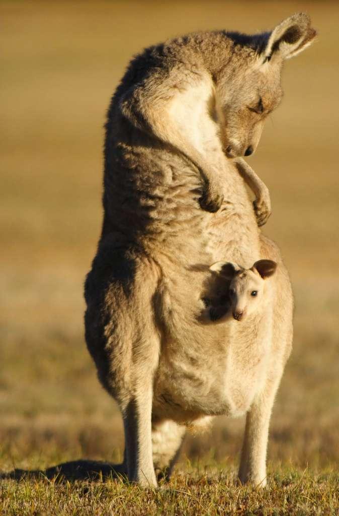 Mammifère : le kangourou, un animal musclé