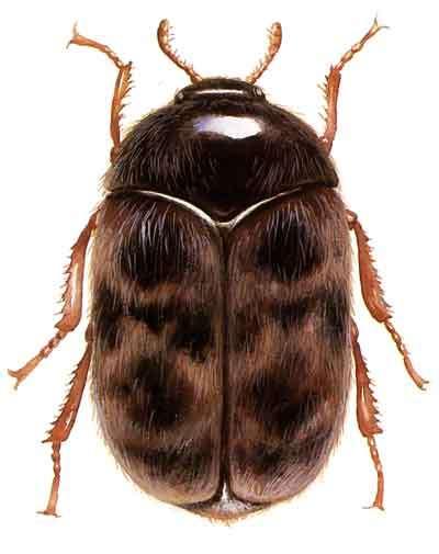 Trogoderma granarium, aussi appelé dermeste du grain. Les larves de cette espèce s'attaquent aussi bien aux céréales stockées qu'aux farines. © USDA, DP