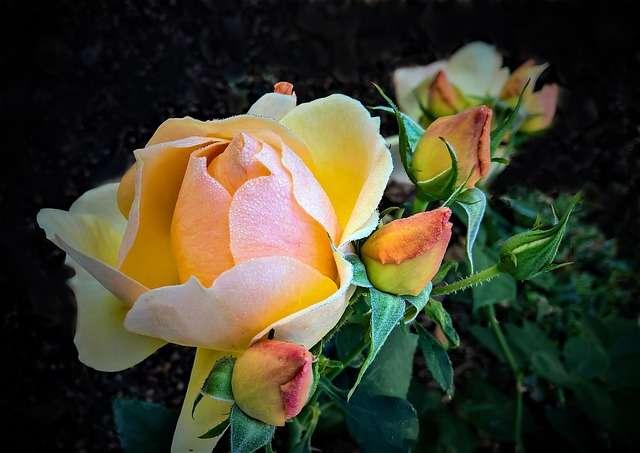 Rosier jaune très odorant. © Monika 1607, Pixabay, DP