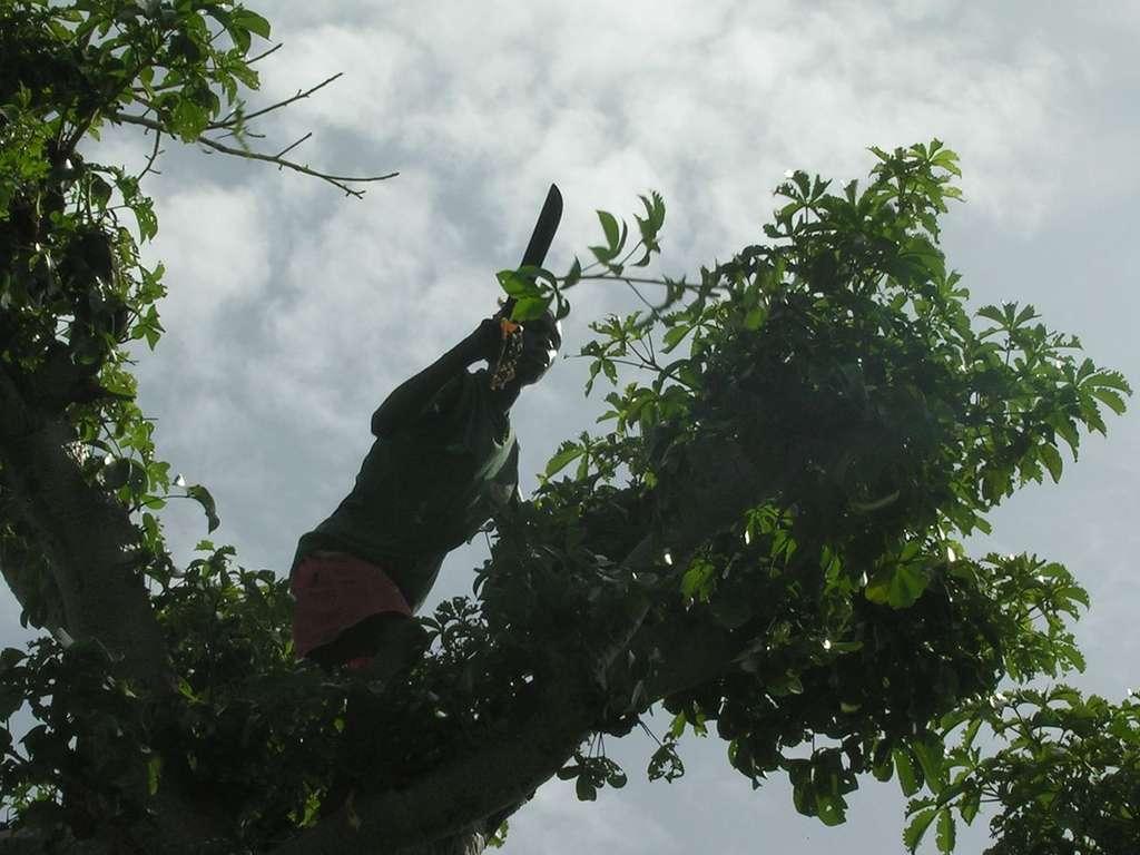 Émondage d'un baobab