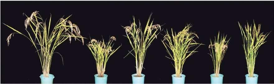 La souche sauvage de riz « hitomebore » se trouve à gauche de l'image. Les 5 autres plants sont des formes mutantes de la souche sauvage. Les nouvelles variétés présentant des caractères intéressants seront utilisées pour la suite des expériences. Cette technique permet d'isoler des gènes d'intérêt. © Adapté de Abe et al. 2012, Nature Biotechnology
