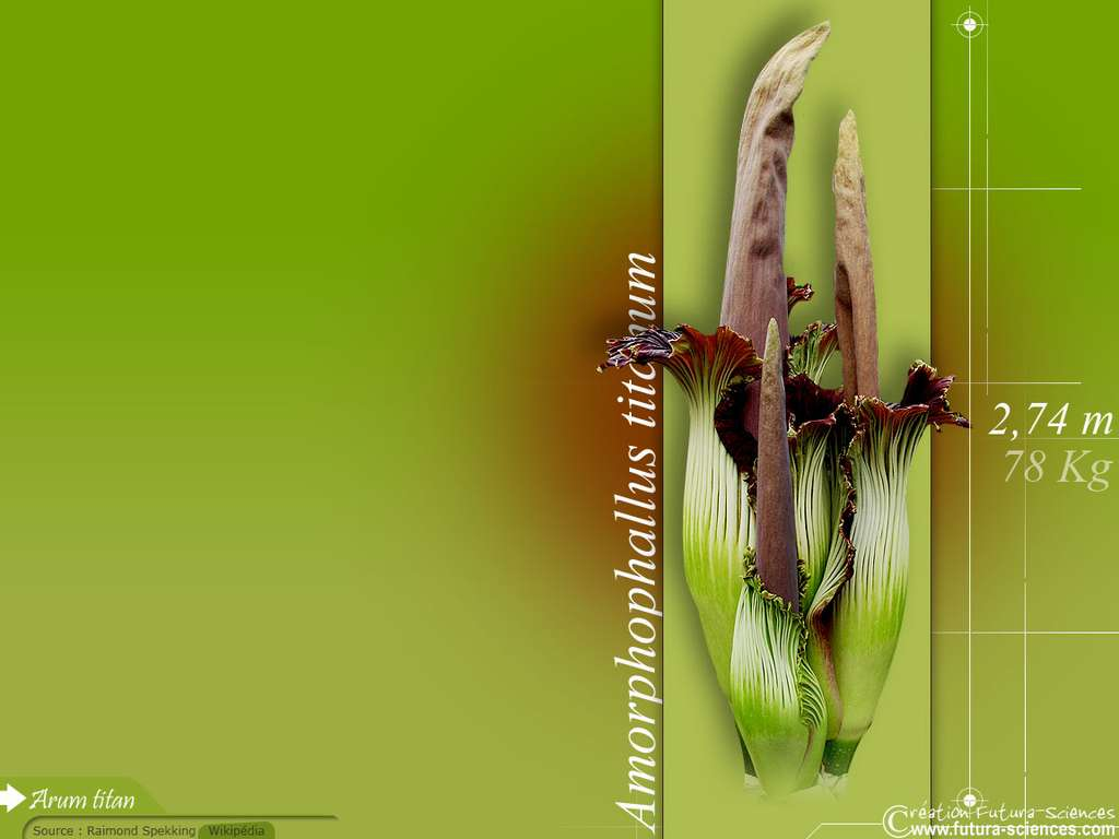 Arum Titan en fleur