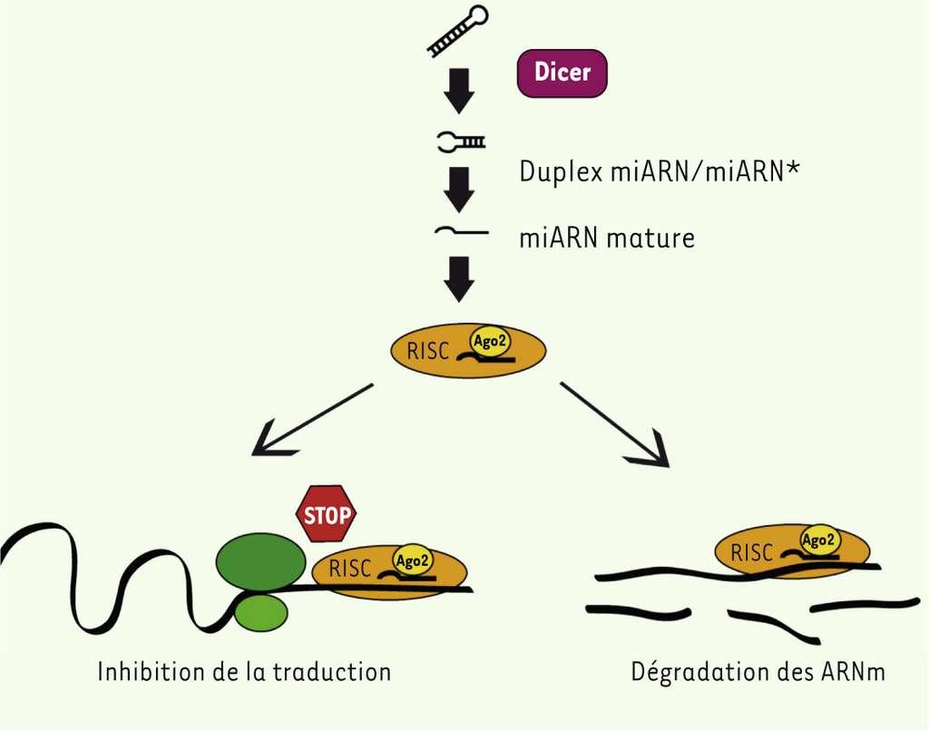 L'appariement entre le microARN et l'ARN messager conduit à la diminution du niveau d'expression de l'ARNm ciblé par l'inhibition de sa traduction ou par sa dégradation. © médecine/sciences, Inserm, 2013