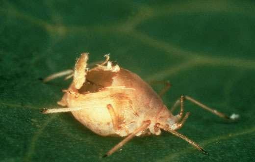 Momie d'un puceron (Homoptère) qui a été parasité par un Hyménoptère Braconidae.© Photo R. Coutin & N. Hawlitzky/INRA.- Toute reproduction et exploitation interdites
