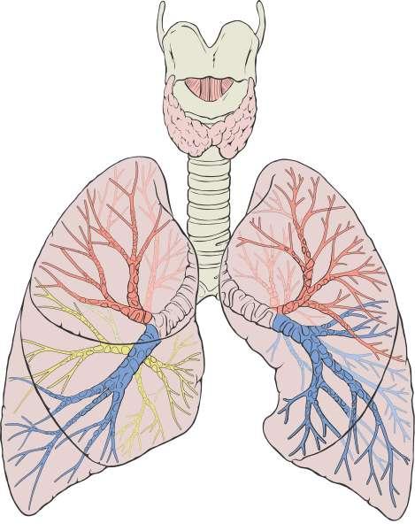 Les deux poumons ont pour rôle de réaliser les échanges gazeux entre le corps humain et l'air ambiant. Ces échanges ont lieu au niveau des alvéoles, où le sang est alors enrichi en oxygène et appauvri en dioxyde de carbone. © Patrick J. Lynch, medical illustrator, Wikimedia Commons, cc by 2.5