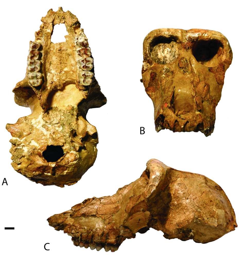 Le crâne d'un individu mâle de Paradolichopithecus, un singe aujourd'hui éteint, qui faisait la taille d'un mandrill. © Claire E. Terhune et al. Quaternary International 2020