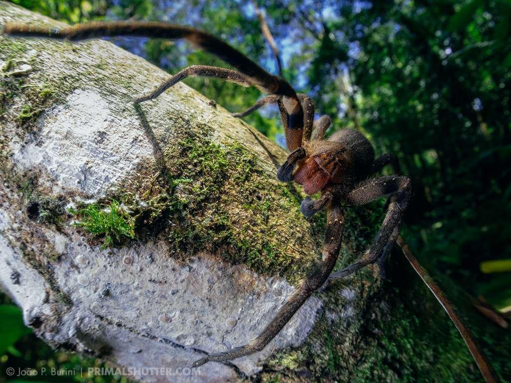 La molécule PnPP-19, contre les troubles de l'érection, est issue du venin de Phoneutria nigriventer (araignée-banane). © João P. Burini