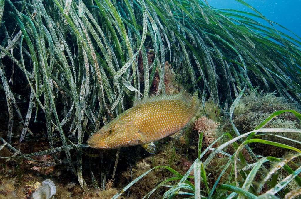 Figure 7.2. Le labre vert Labrus viridis est un prédateur de crustacés et de petits poissons. Malgré son nom, il n'est pas toujours de couleur verte ; en fait, il pratique le mimétisme et change de livrée en fonction de son environnement. Photo © Sandrine Ruitton. Tous droits réservés - Reproduction interdite