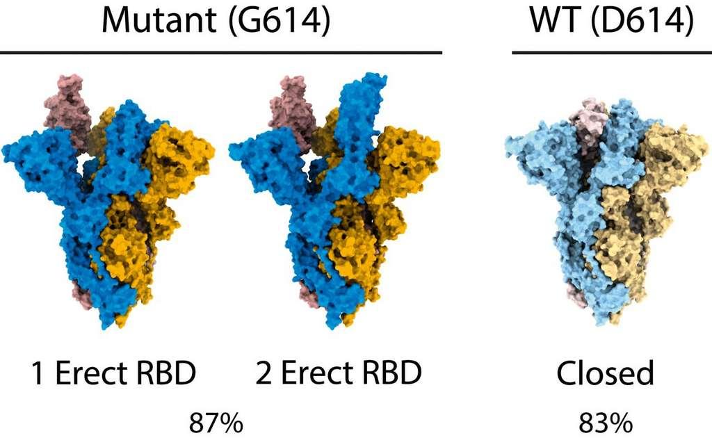 Sur le mutant D164G, 87 % des protéines S ont au moins un RBD (receptor binding domain) accessible, alors que les souches non mutées possèdent 83 % de protéine S fermée où le RBD n'est pas accessible. © Donald J. Benton et al., PNAS 2021