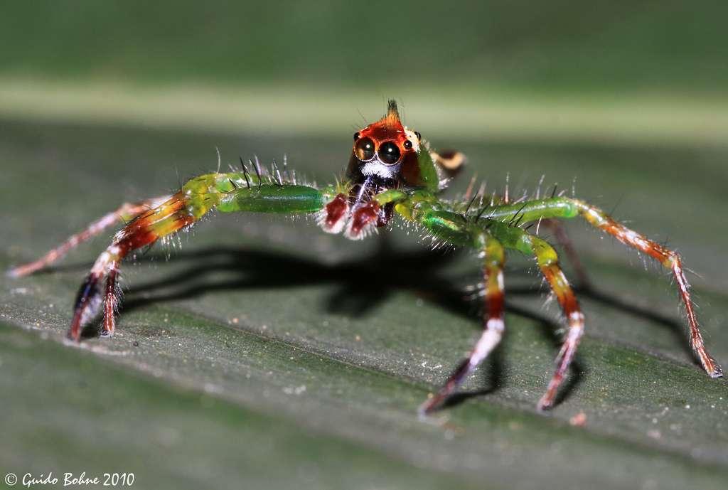 Il existe de nombreuses espèces d'araignées sauteuses. Ici, Epeus flavobilineatus, souvent retrouvée en Asie. © gbohne, Flickr, cc by sa 2.0