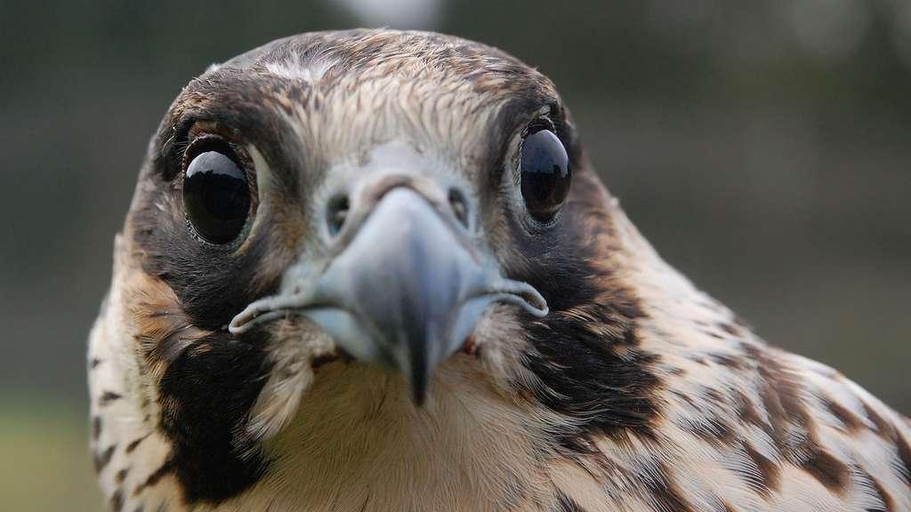 Le faucon pèlerin, l'oiseau le plus rapide du monde