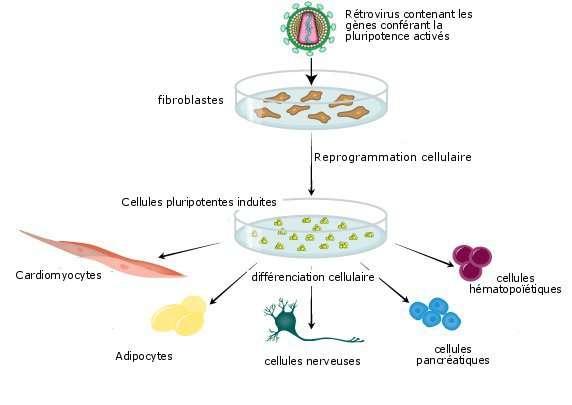 Principe de création des cellules pluripotentes induites. On insère, grâce à un rétrovirus, les gènes conférant la pluripotence au sein de fibroblastes, qui contiennent aussi ces gènes mais où ils sont désactivés. On obtient des cellules pluripotentes induites qui peuvent se différencier en des cellules somatiques. © Amabile et al. 2009, Trends of Molecular Medecine - adaptation Futura-Sciences