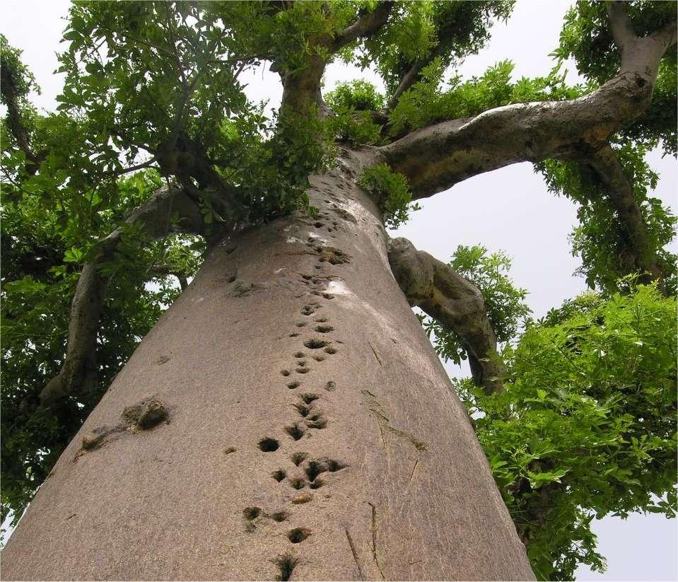 Le baobab est un géant humide. Son bois est gorgé d'eau, que l'on peut récupérer. L'arbre est donc un très mauvais bois de chauffage, ce qui le sauve souvent de la machette. © Sébastien Garnaud
