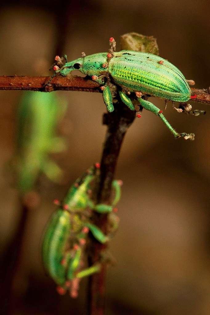 Le cordyceps prend possession du corps de l'insecte et pousse littéralement à l'intérieur. © Damien Esquerré, Université nationale d'Australie (Australie)