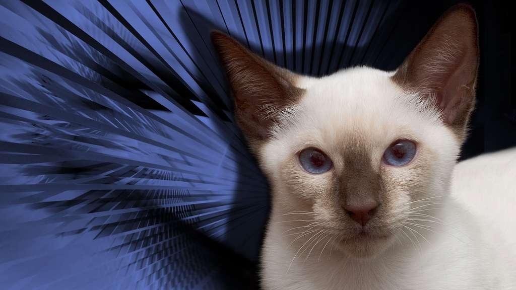 Le chat thaï, un cousin du siamois