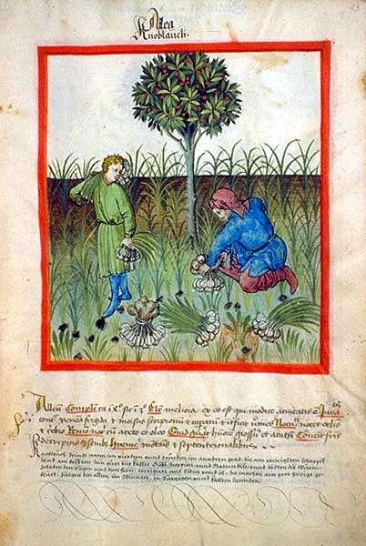 L'ail fait partie de la famille des liliacées, comme l'oignon, l'échalote, la ciboulette ou le poireau, à ce titre ils partagent des bienfaits communs. © Récolte de l'ail, illustration dans le Tacuinum sanitatis, manuel médiéval sur la santé, XVe siècle. BNF, domaine public