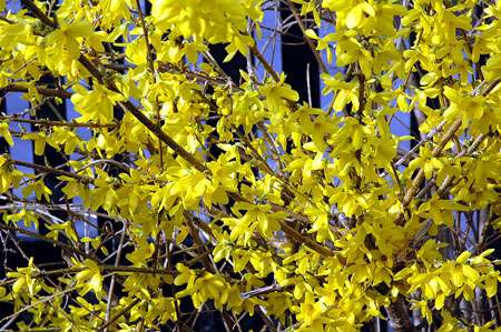 Forsythia, une floraison jaune d'or. © Dan Smith, Creative Commons, CC 2.5