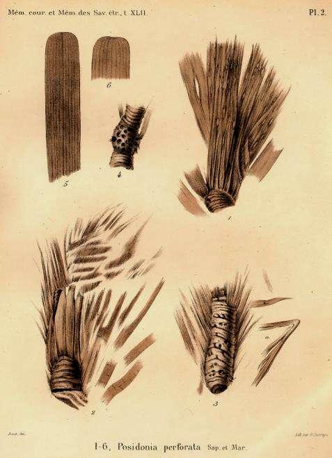Figure 2. Posidonia perforata. Cette espèce vivait dans une mer peu profonde, à l'emplacement actuel de la Belgique, il y a environ 60 millions d'années. En haut à gauche : extrémité de feuilles ; à droite et en bas : rhizomes avec écailles (bases des feuilles après la chute des limbes). Cette posidonie fossile est étrangement proche, par son aspect, des posidonies actuelles. © D'après Saporta et Marion (1877), DP